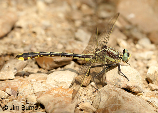 Handsome Clubtail female, Maury Co., TN, June 2016