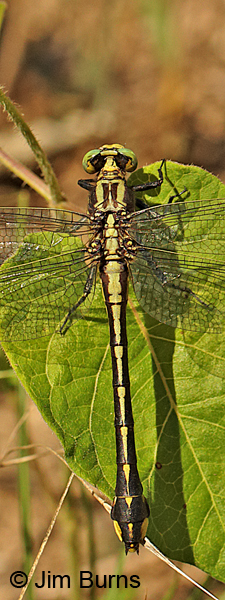 Handsome Clubtail female dorsal view close, Marshall Co., TN, June 2016