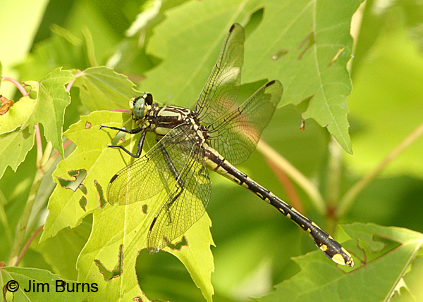 Handsome Clubtail female in foliage, Marshall Co., TN, June 2016