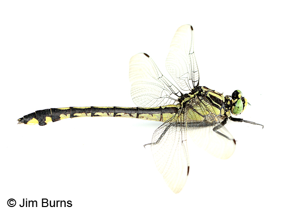 Handsome Clubtail female on white, Marshall Co., TN, June 2016