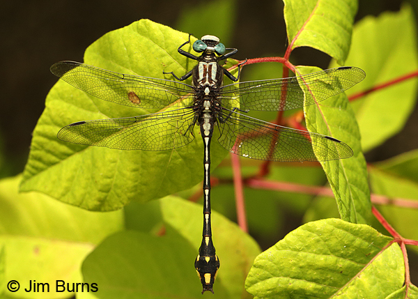 Handsome Clubtail male dorsal view, Marshall Co., TN, June 2016