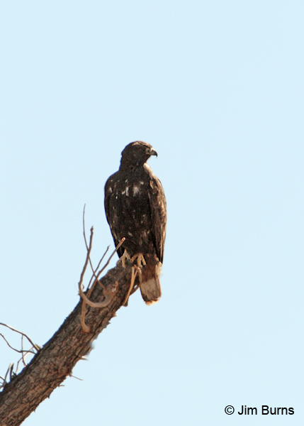 Harlan's dark morph Red-tailed Hawk perched