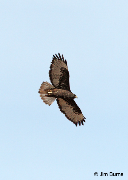 Harlan's dark morph Red-tailed Hawk in flight ventral view