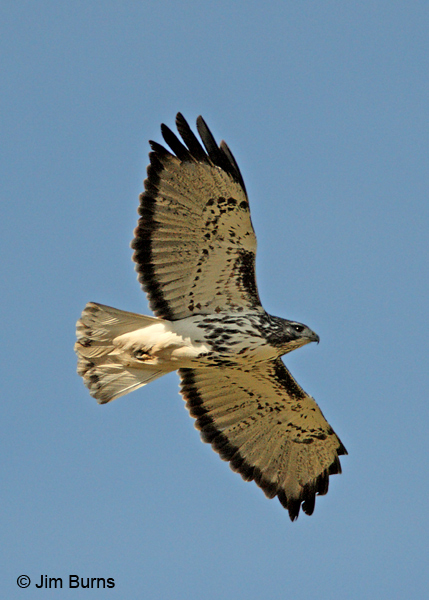 Harlan's light morph Red-tailed Hawk #2