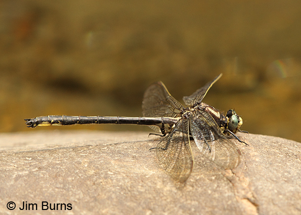 Harpoon Clubtail male, Caledonia Co., VT, July 2014