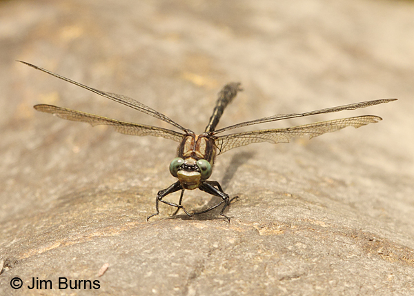 Harpoon Clubtail male frontal thoracic stripes, Caledonia Co., VT, July 2014