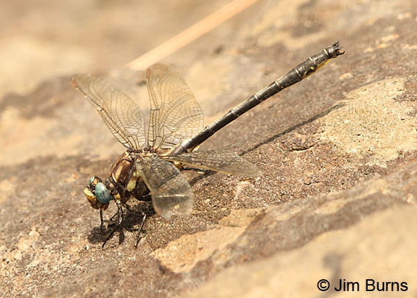 Harpoon Clubtail male on river rock, Caledonia Co., VT, July 2014