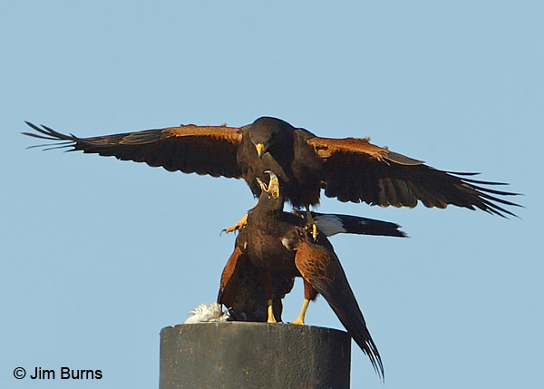 Harris's Hawk copulation with white Rock Pigeon gift