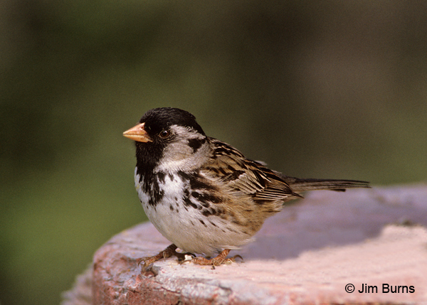 Harris's Sparrow breeding
