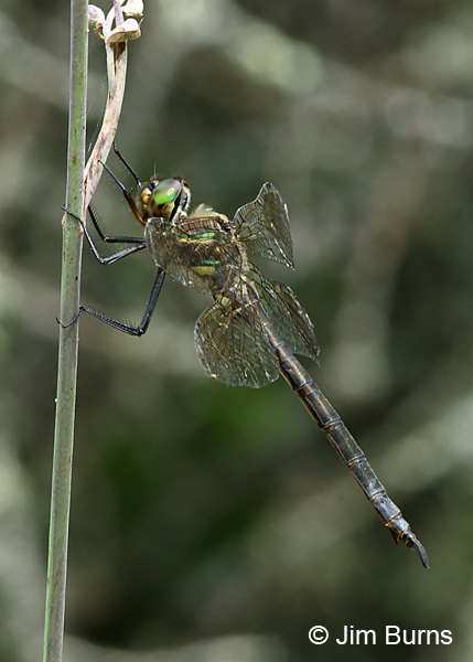 Hine's Emerald female #2, Door Co., WI, July 2017