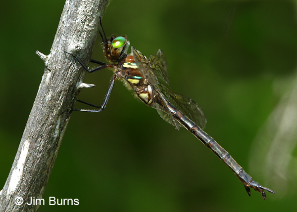 Hine's Emerald female #3, Door Co., WI, July 2017