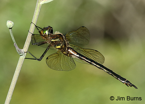 Hine's Emerald female on flower stalk, Door Co., WI, July 2017