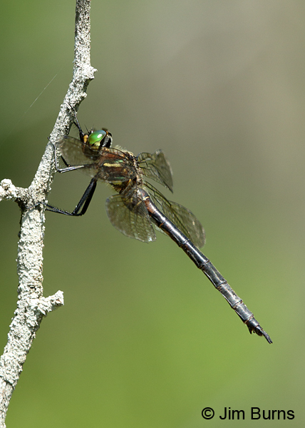 Hine's Emerald female showing tea colored wings, Door Co., WI, July 2017