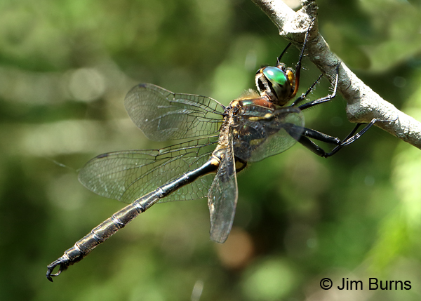 Hine's Emerald male #2, Door Co., WI, July 2017