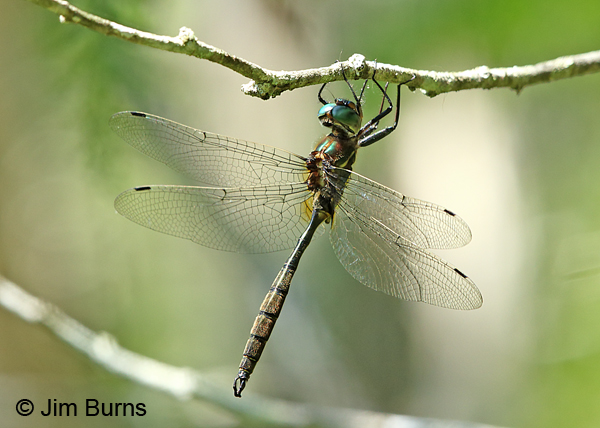 Hine's Emerald male #3, Door Co., WI, July 2017
