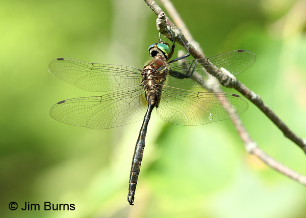 Hine's Emerald male #4, Door Co., WI, July 2017