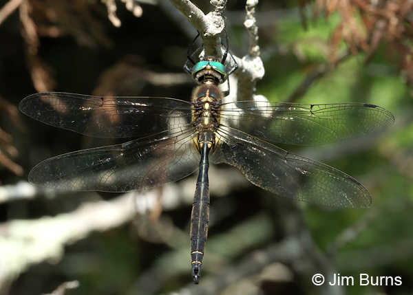 Hine's Emerald male dorsal view, Door Co., WI, July 2017