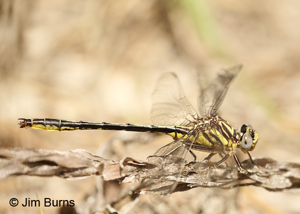Hodges's Clubtail male, Santa Rosa Co., FL, March 2016