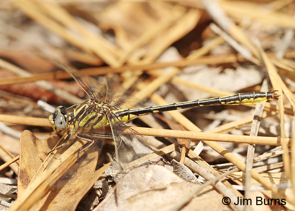 Hodges's Clubtail male #2, Santa Rosa Co., FL, March 2016