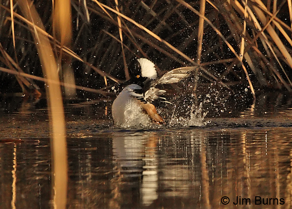 Hooded Merganser bathing