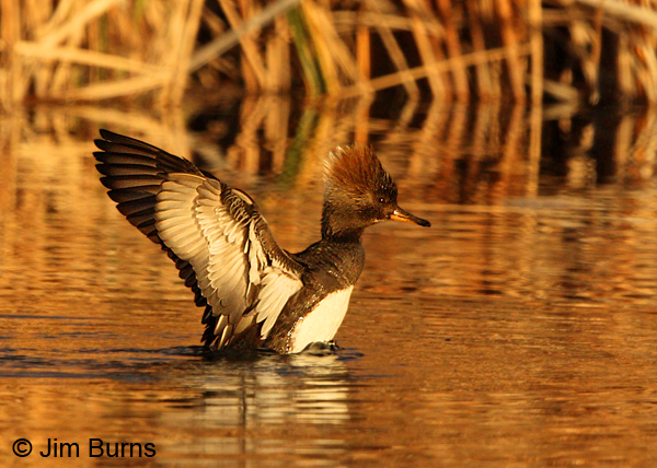 Hooded Merganser female sunset flap preening