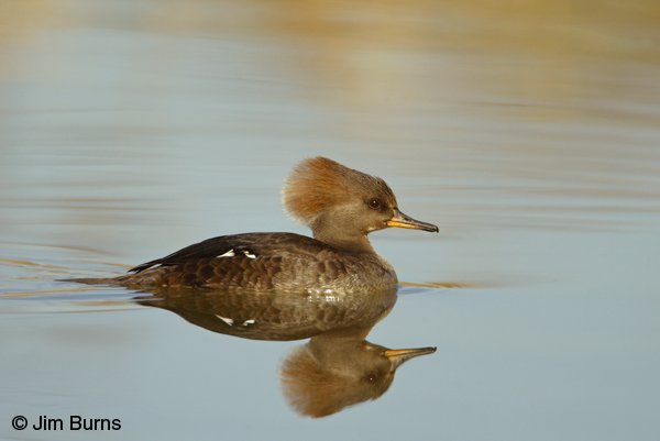 Hooded Merganser female adult