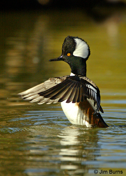 Hooded Merganser male flap preening, overwing