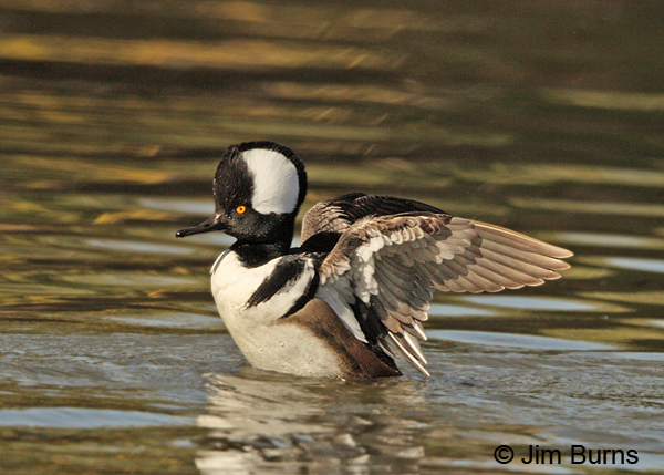 Hooded Merganser male flap preening