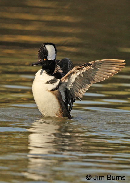 Hooded Merganser male flap preening, underwing