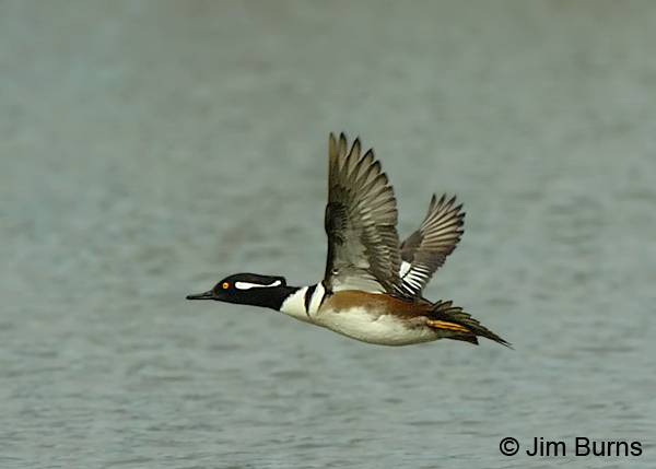 Hooded Merganser male in flight