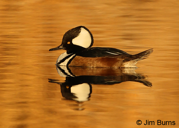 Hooded Merganser male in sunset