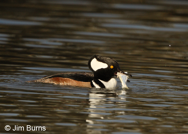 Hooded Merganser male with fish
