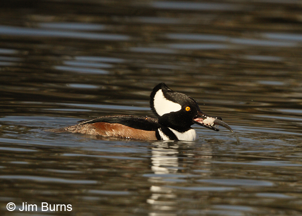 Hooded Merganser male with fish #2