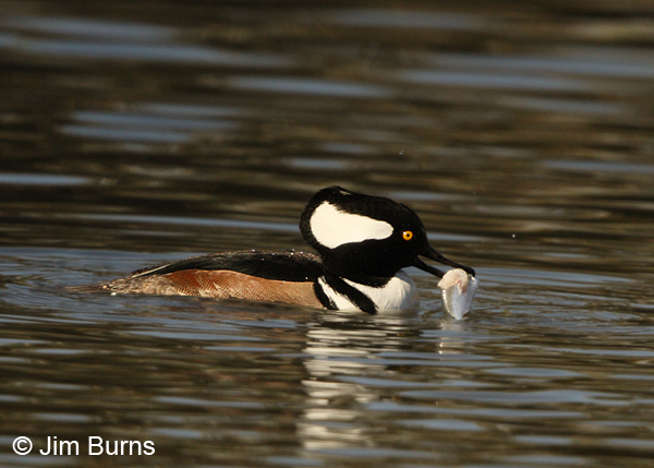 Hooded Merganser male with fish #3