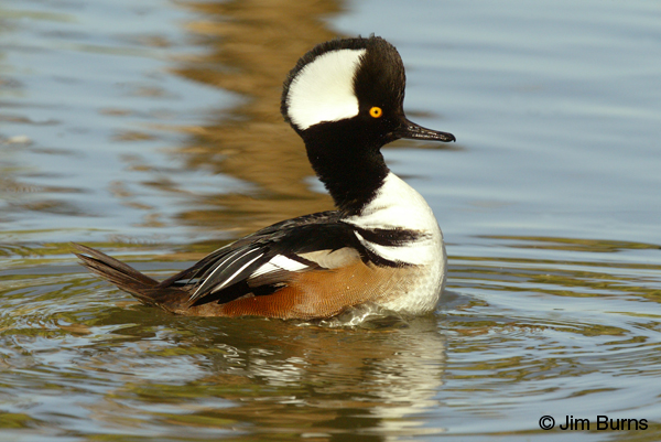 Hooded Merganser male adult
