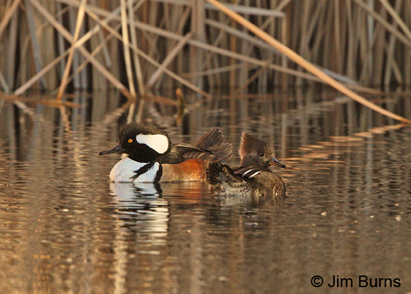 Hooded Merganser pair #2