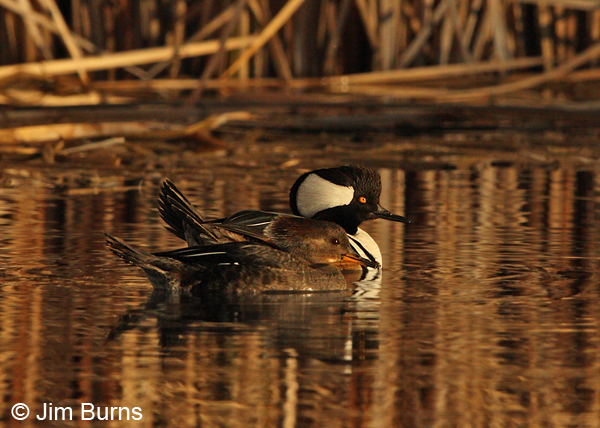 Hooded Merganser pair #3