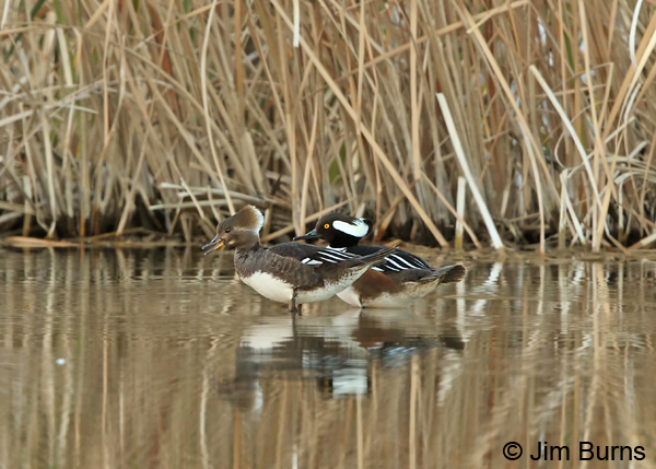 Hooded Merganser pair #4
