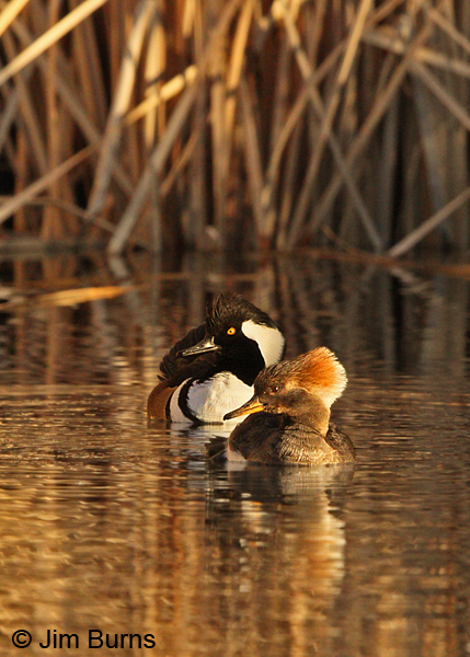 Hooded Merganser pair #5