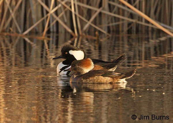 Hooded Merganser pair #6