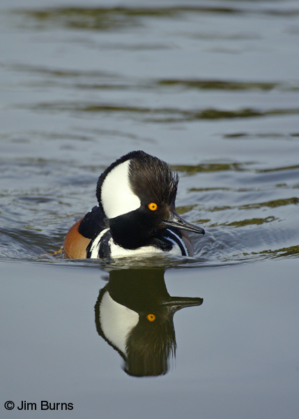 Hooded Merganser reflection