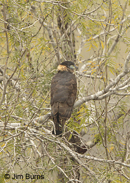 Hook-billed Kite female dorsal view