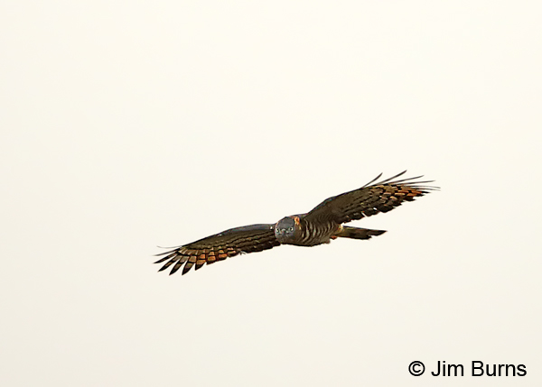 Hook-billed Kite female incoming
