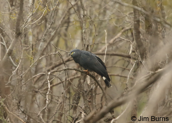 Hook-billed Kite male dark morph