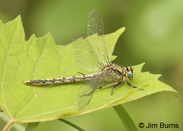 Horned Clubtail female, Washington Co., MN, June 2014