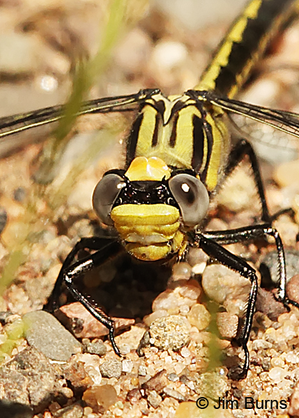 Horned Clubtail immature female showing bilobed occiput and its black basal horns, Pine Co., MN, June 2014