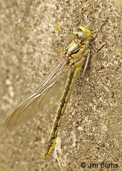 Horned Clubtail teneral female, Eau Claire Co., WI, June 2014