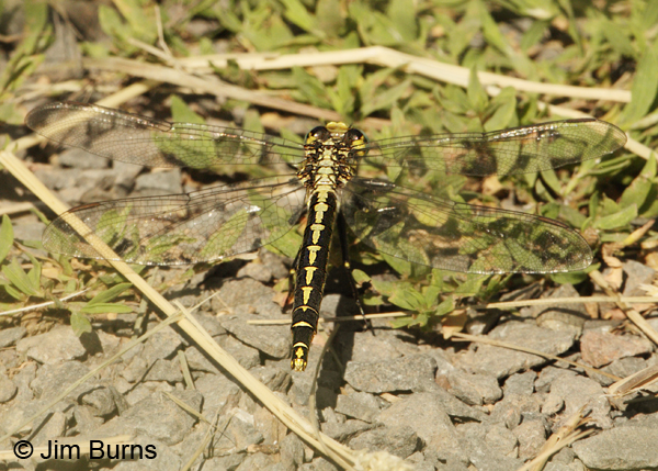 Horned Clubtail female dorsal view, St. Louis Co., MN, July 2012