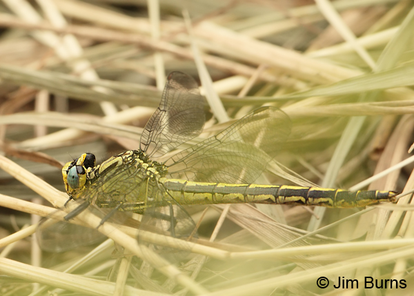 Horned Clubtail female, St. Louis Co., MN, July 2012