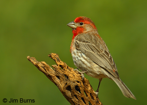 how to tell if a finch is male or female
